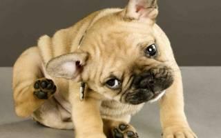 Грибковый отит у собак: симптомы и лечение воспалений