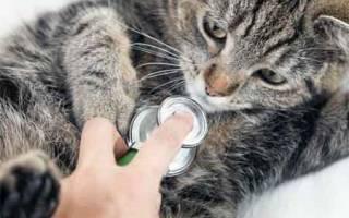Пороки сердца у кошек: врождённые и приобретённые