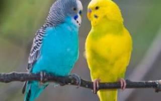 Волнистый попугай: цвет оперения и характер птицы