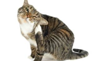 Блошиный дерматит у кошек: все что нужно знать о симптомах, диагностике и лечении