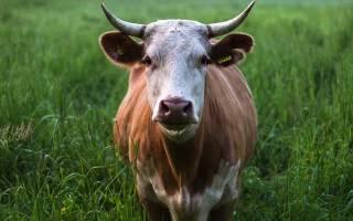 Гиподерматоз крупного рогатого скота: симптомы, лечение