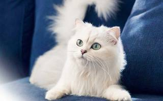 Если нужна кошка белая и пушистая