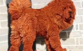 Самая дорогая собака в мире была продана за 1,5 миллиона долларов
