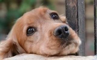 Гемолиз у собак: особенности заболевания, причины и методы лечения