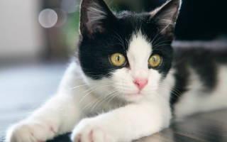 Бельмо на глазу у кошки: причины, диагностика и способы лечения
