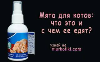 Кошачья мята: польза или вред?