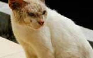 Нотоэдроз — симптомы и лечение чесотки у кошек