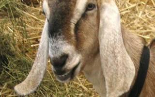 Нубийские козы: особенности породы