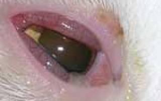 Микоплазмоз у собак: симптомы, лечение и профилактика