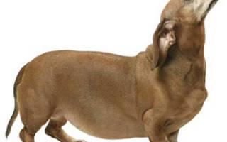 Водянка у собак: причины, диагностика и лечение