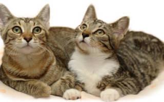 Во сколько кошки начинают просить кота и наоборот