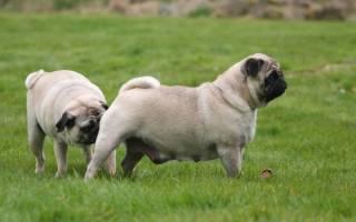 Почему собаки нюхают друг друга под хвостом: легенды, факты, причины