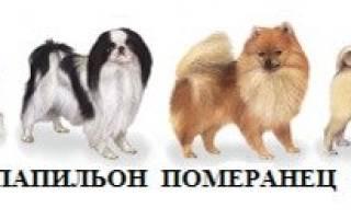 Китайские породы маленьких собак