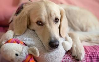 Ложная беременность у собак: симптомы и признаки