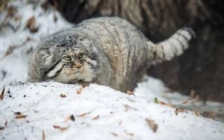 Чем опасен манул – степной кот