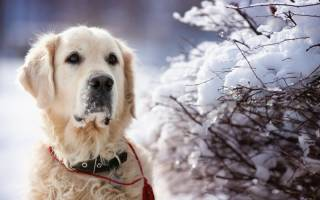 Симптомы переохлаждения (гипотермия) у собак