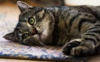Лимфома у кошек и котов: лечение, симптомы