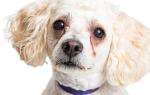 У собаки закисают глаза: причины, симптомы, лечение