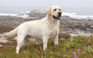 Лабрадор ретривер: душевный лекарь в собачьем обличии