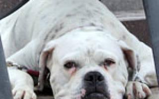 Флегмона у собак: симптомы и терапия