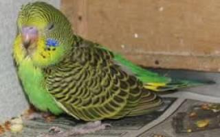 Почему у попугая понос и чем его лечить