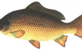 Основные виды карповых рыб