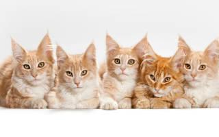 Крипторхизм у котов