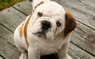 Обратное чихание у собак: причины и первая помощь питомцу