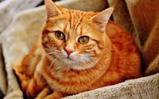 Кровь у кошки после родов: норма и патология как отличить