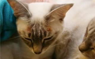 Экзема у кошек: причины и лечение