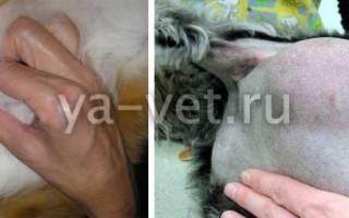 Опухоль у кошки внизу живота