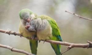 Квакер попугай