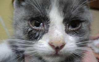 Почему у кошки или кота слезятся глаза?