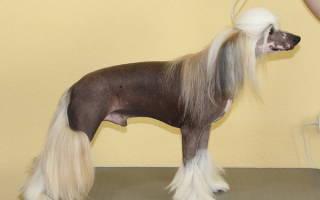 Стрижка и уход за шерстью китайской хохлатой собаки: комплекс обязательных мероприятий