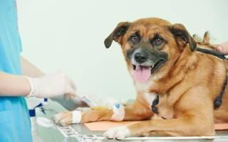 Холангит у собак: симптомы, лечение
