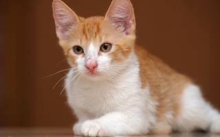 Боррелиоз у кошек — способы заражения и последствия болезни Лайма