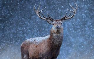 Чем питается олень зимой