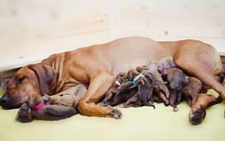 Сколько собаки ходят беременные? Сроки и изменения по неделям