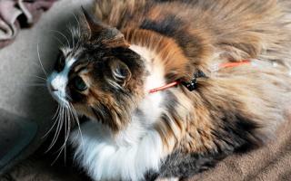 Панкреатит у кошек и котов
