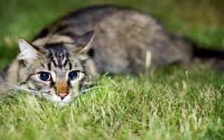 Анаплазмоз у кошек – очень опасное инфекционное заболевание. Симптомы, лечение