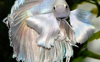 Чем кормить рыбку петушка
