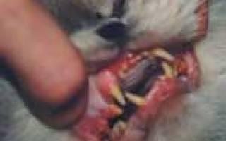 Кальцевирусная инфекция у кошек: симптомы и лечение