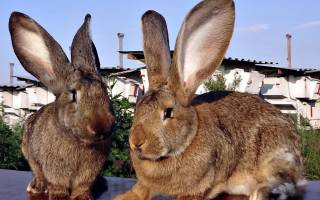 Белый кролик великан: особенности породы