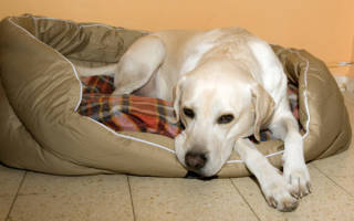 Токсикоз у собак — симптомы и причины деликатного состяния