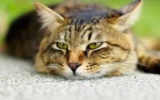Отравление у кошек: симптомы и первая помощь