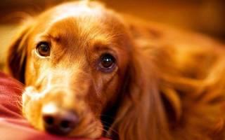 Гастрит у собак