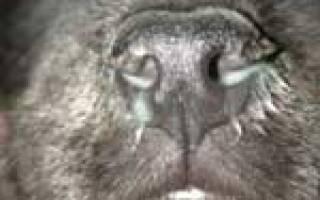 Аденовирус у собак: симптомы, диагностика, лечение