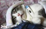 Ринит у кошек: безопасные средства для лечения