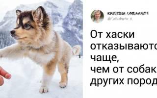 Сибирский хаски: выносливость, преданность, разум