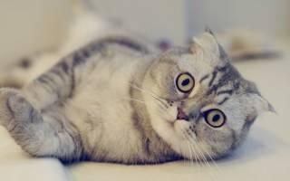 Заворот века у кошки: основные симптомы и лечение заболевания